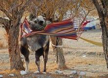 Kamel in einer Hängematte Lizenzfreies Stockfoto
