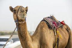 Kamel an einer Rennstrecke in der Unebenheit Al Khali Desert in Abu Dhabi Stockbild