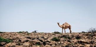 Kamel in einer Wüste in Oman lizenzfreie stockfotografie