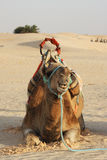 Kamel in einer Wüste Lizenzfreie Stockfotografie