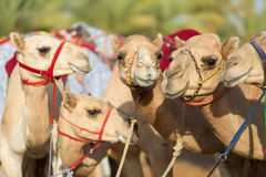 Kamel för klubba för springa för Dubai kamel som väntar för att springa på solnedgången Royaltyfria Bilder