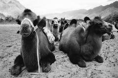 Kamel för två knöl Fotografering för Bildbyråer