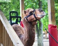 Kamel-Fahrten Stockfoto