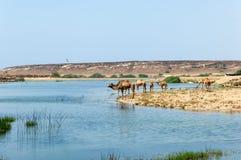 Kamel framme av den Sumhuram slotten, Khor Rori, Salalah, Dhofar, sultanat av Oman arkivfoton