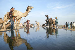 Kamel ganska Pushkar 2015 Royaltyfri Foto