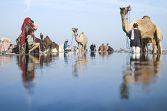 Kamel ganska Pushkar 2015 Royaltyfri Fotografi