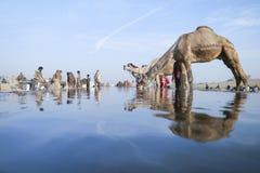 Kamel ganska Pushkar 2015 Arkivbilder