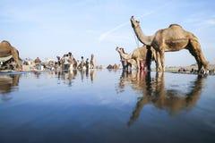Kamel ganska Pushkar 2015 Royaltyfria Foton
