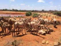 Kamel in Garrisa Kenia Lizenzfreie Stockfotos