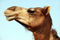 Kamel-Gesicht Stockfotos