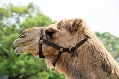 Kamel-Gesicht Lizenzfreies Stockbild