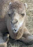 Kamel-Gespräch Lizenzfreie Stockfotos