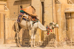 Kamel an Giseh-Pyramide, Kairo in Ägypten Lizenzfreies Stockbild
