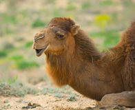 kamel head s Arkivfoton
