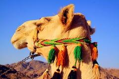 Kamel i öken Arkivfoto