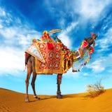 Kamel i öken Arkivbilder