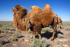 Kamel i öken av Kasakhstan Arkivfoton