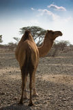 Kamel i öken i United Arab Emirates Royaltyfri Fotografi