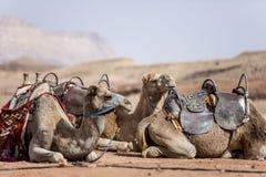 Kamel i öknen Royaltyfri Fotografi