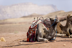 Kamel i öknen Fotografering för Bildbyråer