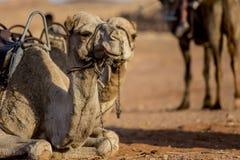 Kamel i öknen Arkivfoton