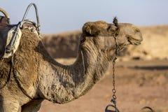 Kamel i öknen Royaltyfria Bilder