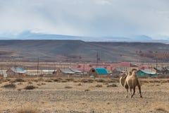 Kamel i bergen Arkivfoton