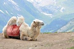 Kamel i bergen Arkivfoto