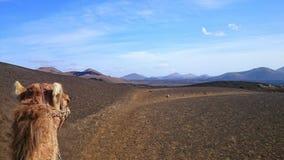 Kamel i berglandskap Fotografering för Bildbyråer