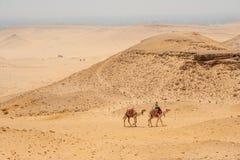 Kamel i den egyptiska öknen Arkivbild