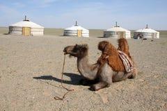 Kamel i den Gobi öknen Royaltyfri Foto
