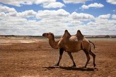 Kamel i den Gobi öknen royaltyfria foton