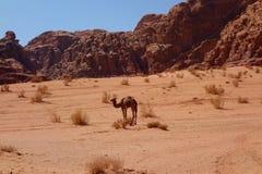Kamel i den jordanska öknen Wadi Rum, Jordanien Wadi Rum har lett till dess beteckning som en UNESCOvärldsarv Det är bekant som T Royaltyfri Foto