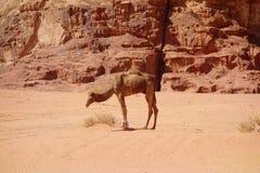 Kamel i den jordanska öknen Wadi Rum, Jordanien Wadi Rum har lett till dess beteckning som en UNESCOvärldsarv Det är bekant som T Royaltyfria Bilder