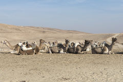 Kamel i den Judean öknen, Israel Arkivbilder