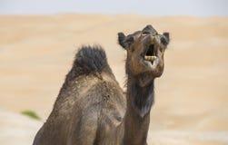Kamel i den Liwa öknen Arkivbilder