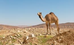 kamel i den Negev öknen Arkivfoto