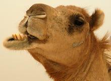 Kamel i den Oman öknen Arkivbild