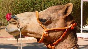Kamel i den Thar öknen, Indien Arkivfoto