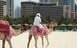 Kamel i Dubai Arkivbild
