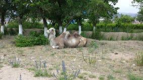 Kamel i en by Royaltyfria Foton