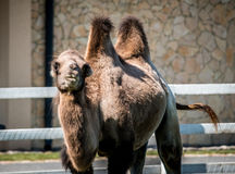 Kamel i en zoo Royaltyfria Bilder