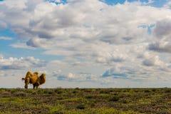 Kamel i fältet Royaltyfria Bilder