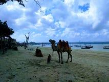 Kamel i Kelan Beach Bali royaltyfri bild