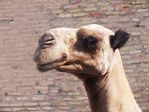 Kamel i Khiva Arkivfoton