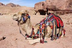 Kamel i Petra, Jordanien Arkivbild