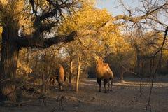 Kamel i poppelskog Royaltyfri Foto