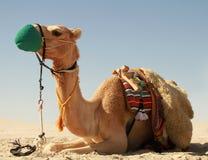 Kamel i qatarisk öken Royaltyfria Bilder