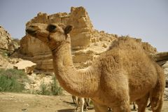 Kamel i sedebokeröken royaltyfri bild