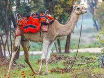 Kamel i sele på en grön glänta med anemoner Arkivbild